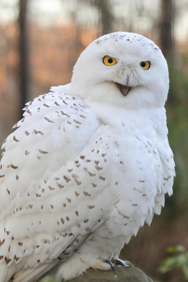 Download Snowy Owl Stock Photos - Image: 28485913