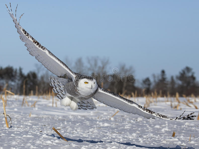Snowy owl royalty free stock photography