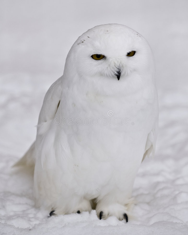 Download Snowy Owl stock photo. Image of face, fauna, nature, plumage - 4185214