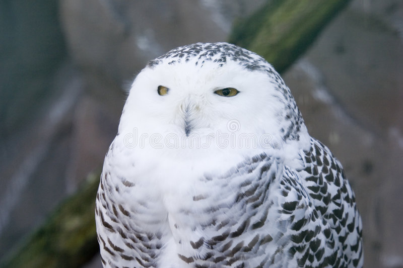 Download Snowy Owl Stock Photo - Image: 4407400