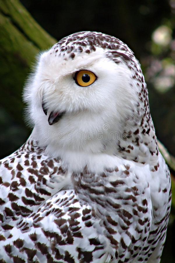 Download Snowy owl stock image. Image of profile, portrait, white - 566513
