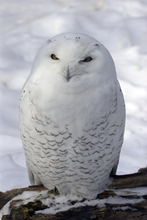 Snowy Owl. In snow royalty free stock photos