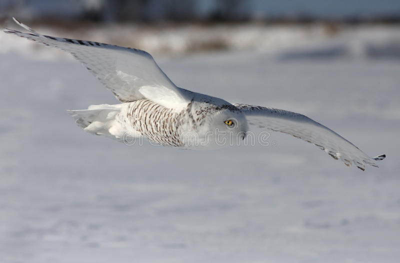 Snowy Owl in action