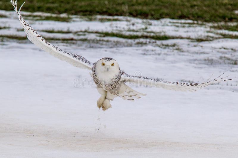 Snowy Owl. Adult Female Snowy Owl Hunting Over Snowy Fiedl stock images