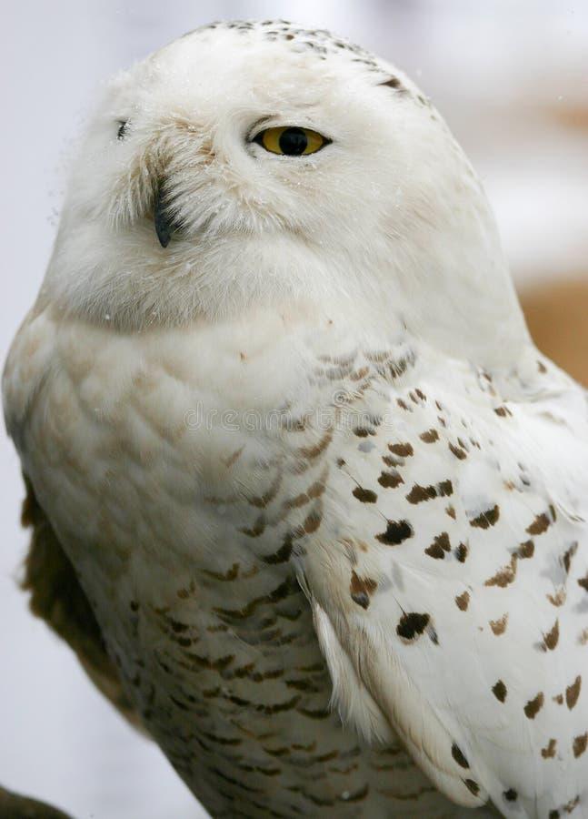 Snowy Owl royalty free stock photos