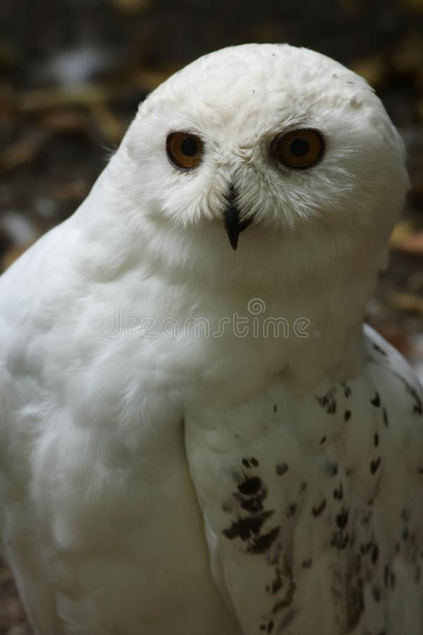 Download Snowy Owl (Bubo Scandiacus) Stock Image - Image: 12356417