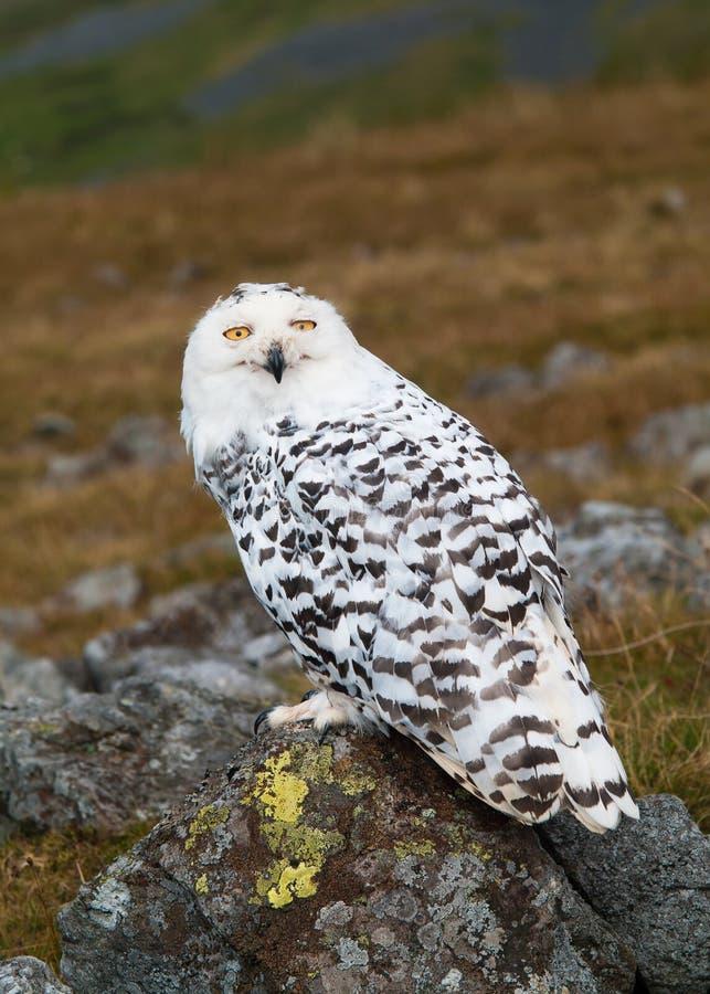 Snowy Owl (Bubo scandiacus) stock photo