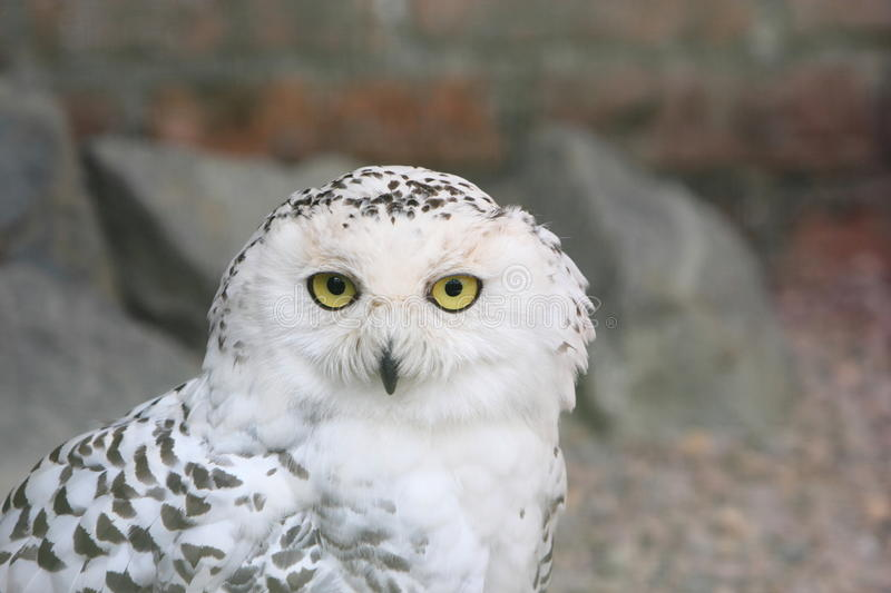 Download Snowy owl, Bubo Scandiacus stock image. Image of wildlife - 26029649
