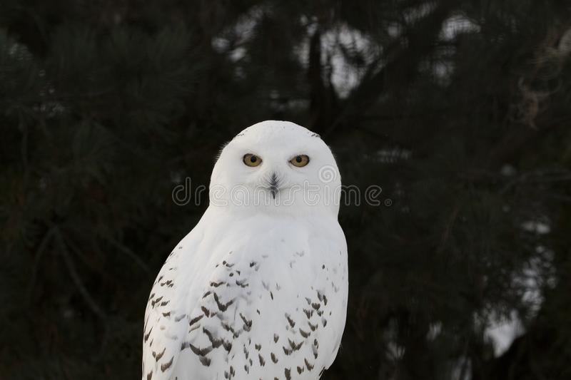 Snowy owl,Bubo scandiacus, close up portrait with eye and feather detail plus blurred snow background. winter scotland stock images