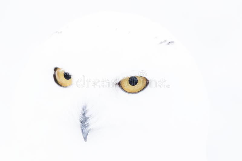 Snowy owl,Bubo scandiacus, close up portrait with eye and feather detail plus blurred snow background. winter scotland stock photo