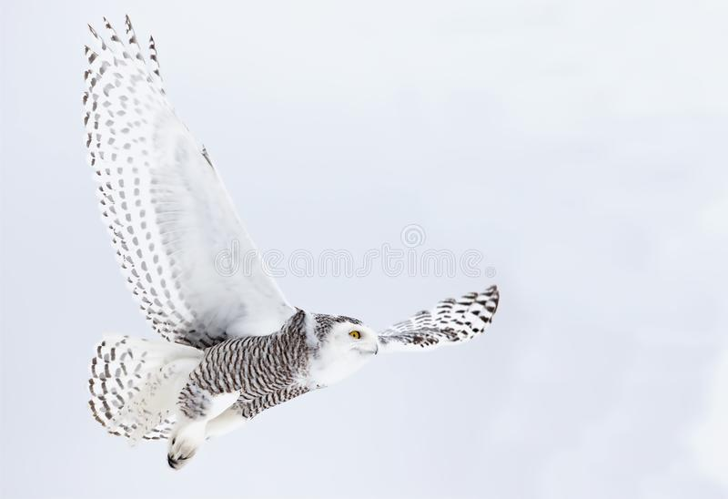 A Snowy owl Bubo scandiacus flying low and hunting over a snow covered field in Canada stock images