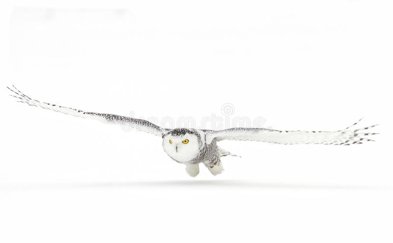 Download A Snowy Owl Bubo Scandiacus Hunting Over A Snow Covered Field In Canada Stock Image - Image of beak, predator: 104400567