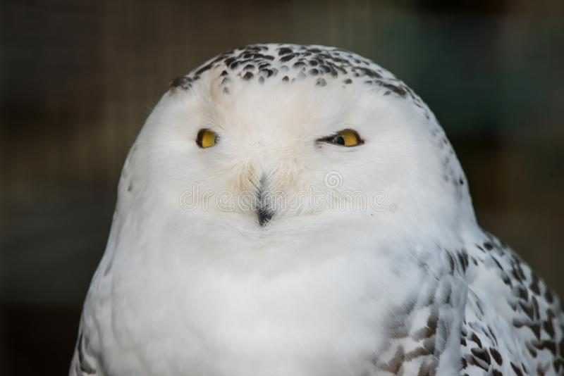 Snowy owl portrait close up. The snowy owl, Bubo scandiacus, is a large, white owl of the true owl family. Males are almost all white, while females have more stock photos