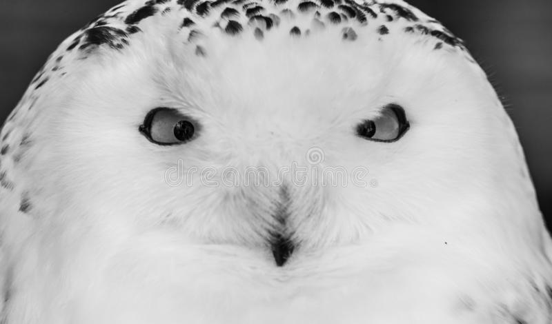 Snowy owl portrait close up. The snowy owl, Bubo scandiacus, is a large, white owl of the true owl family. Males are almost all white, while females have more royalty free stock images