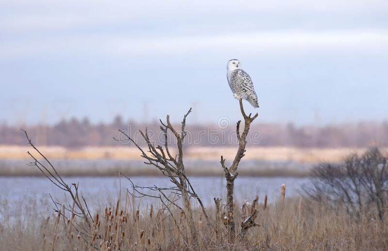 A Snowy owl Bubo scandiacus perched on a tree at sunset in winter in Ottawa, Canada. Snowy owl Bubo scandiacus perched on a tree at sunset in winter in Ottawa royalty free stock photos