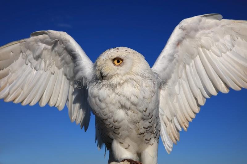 Snowy Owl Bubo scandiacus on Protective Glove. Closeup royalty free stock image