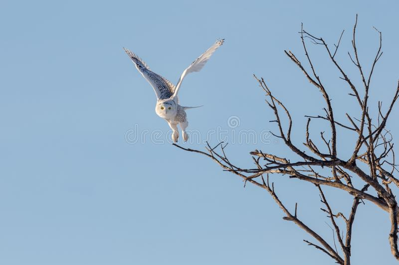 Snowy Owl Flying while Hunting royalty free stock images