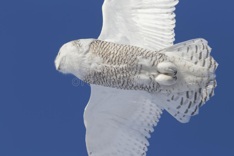Download Snowy Owl Close Up Stock Photo - Image: 38677630