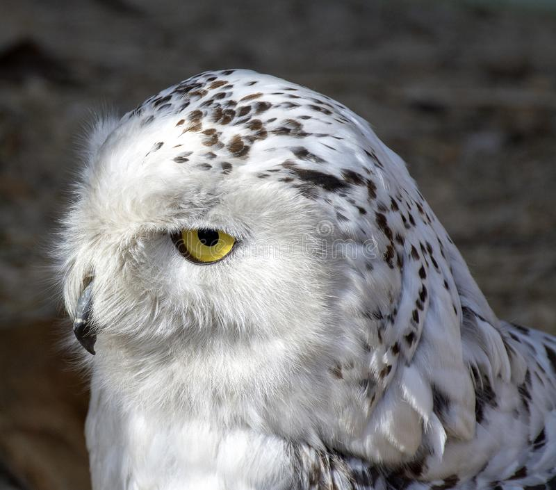 Snowy owl. Close-up photo royalty free stock photo