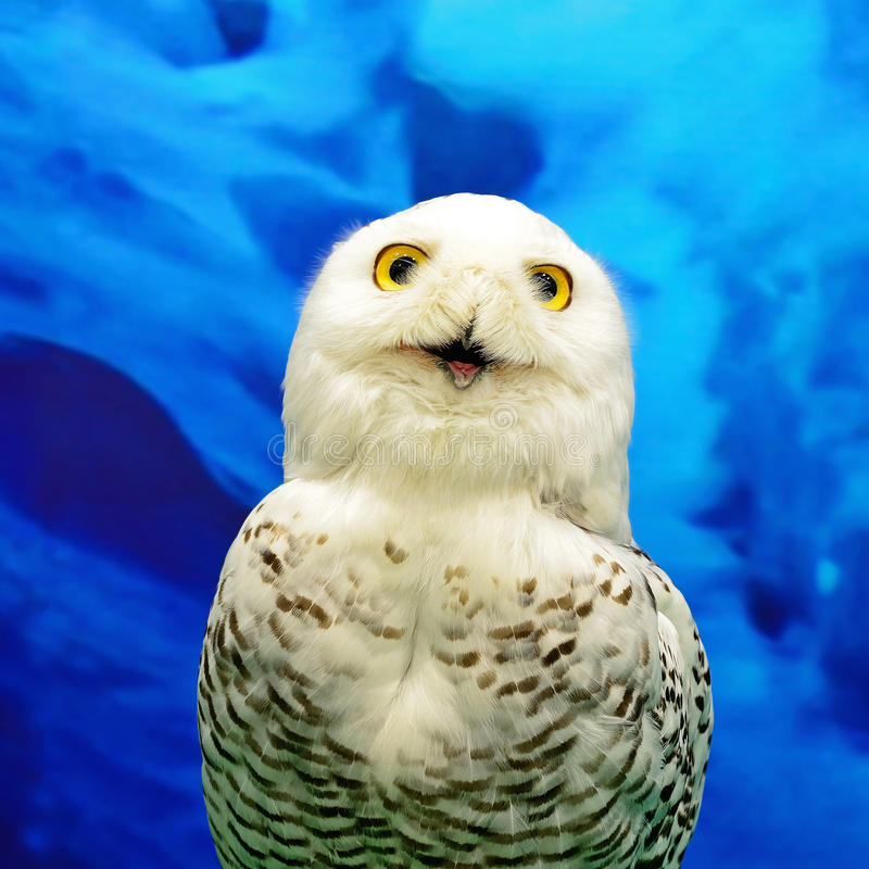 Download Snowy Owl stock image. Image of background, eyes, indoors - 32502163