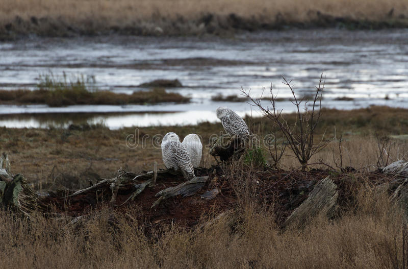 Snowy Owl. December 2012, About 28 snowy owls near the foot of 64nd Street on Boundary Bay, Delta, BC, Canada stock photos