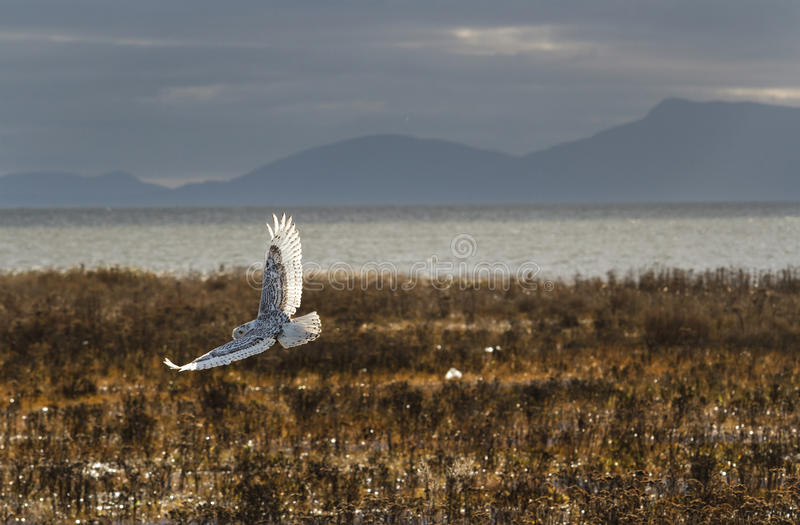 Snowy Owl. December 2012, About 28 snowy owls near the foot of 64nd Street on Boundary Bay, Delta, BC, Canada stock photo