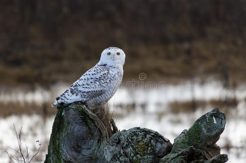 Snowy Owl. December 2012, About 28 snowy owls near the foot of 64nd Street on Boundary Bay, Delta, BC, Canada stock images