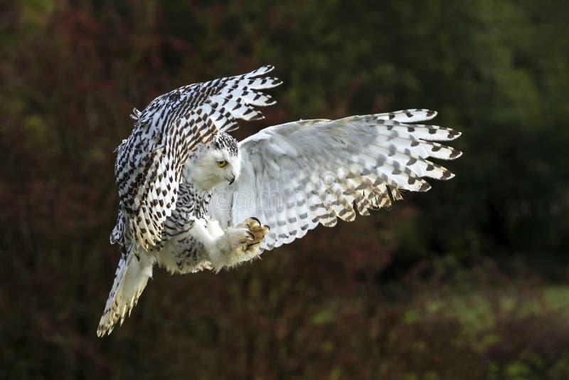 Snowy Owl em voo imagem de stock royalty free