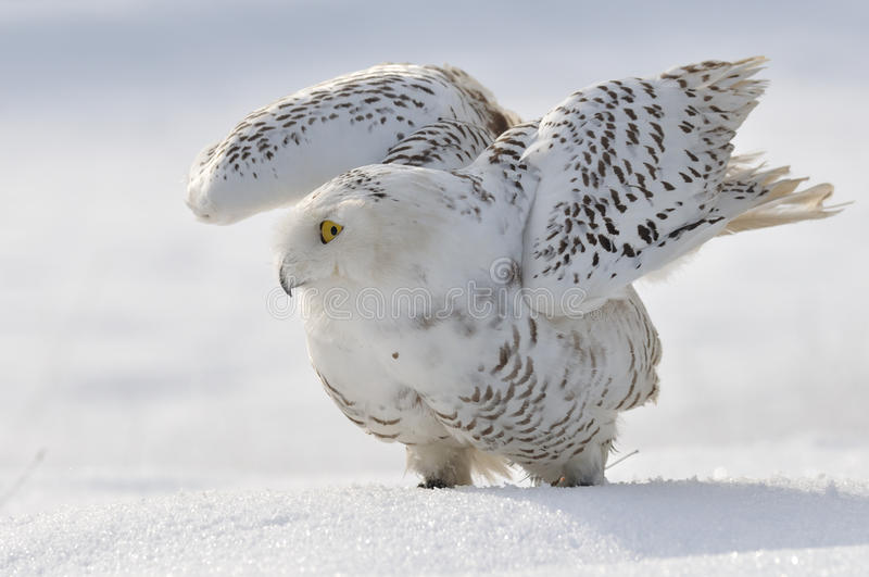 Download Snowy owl flap wings stock photo. Image of predator, season - 24014240