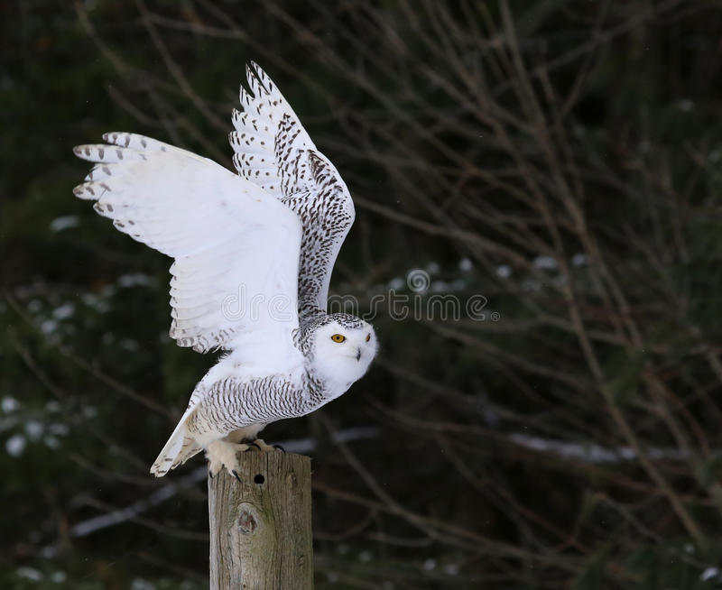 Snowy Owl Flapping it's Wings royalty free stock photography
