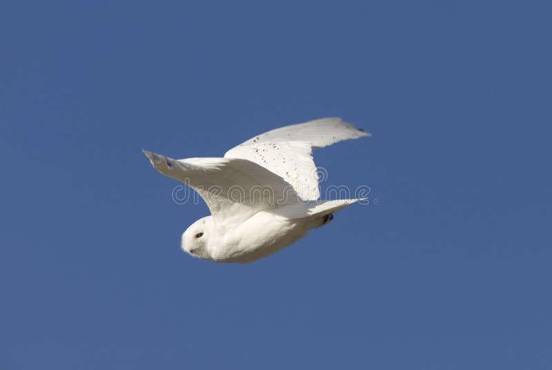 Download Snowy Owl in Flight stock image. Image of raptor, predator - 23680081