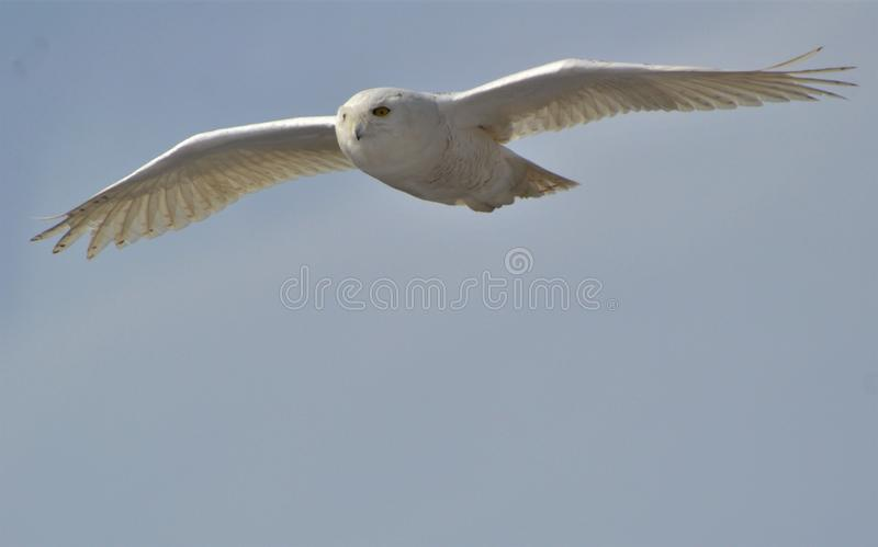 Snowy owl in flight for food mice stock images