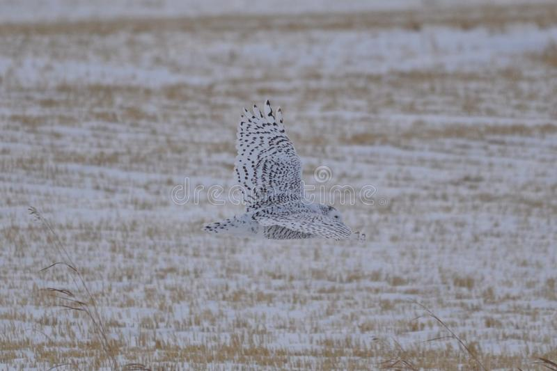Snowy Owl flying across a field stock photography