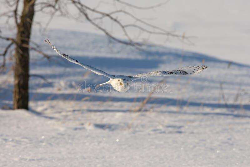 Snowy Owl Flying Low Over un campo di Snowy fotografia stock libera da diritti
