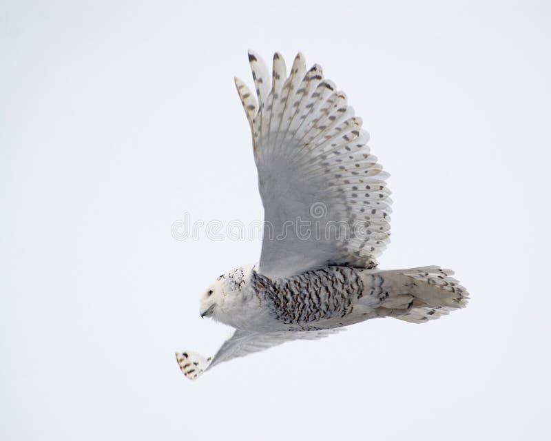Snowy owl glijdend met vleugels uitgespreid stock foto