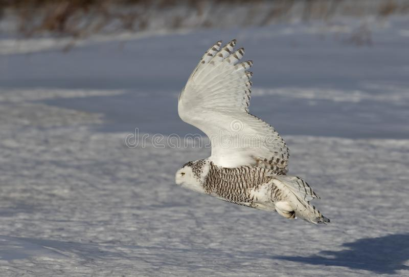 A Snowy owl hunting over a snow covered field in Quebec, Canada. Snowy owl hunting over a snow covered field in Quebec, Canada stock photos