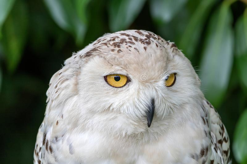 Snowy owl, looking for food royalty free stock photography
