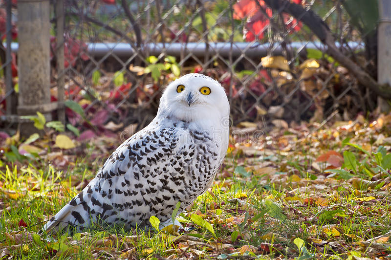 Snowy Owl Looking Up stock photo