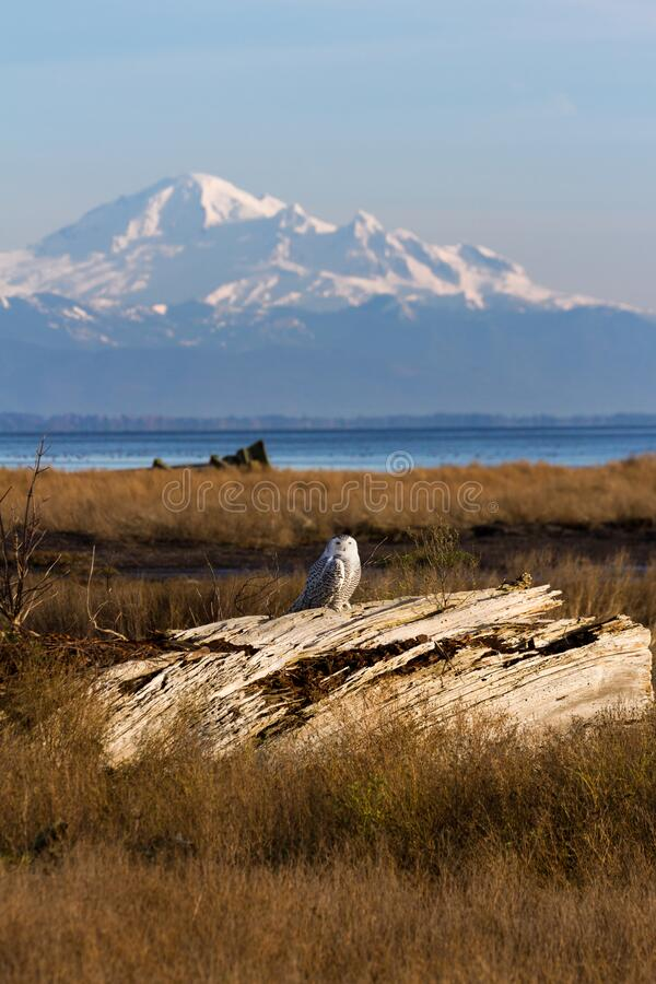 Snowy Owl and mountain baker stock photo