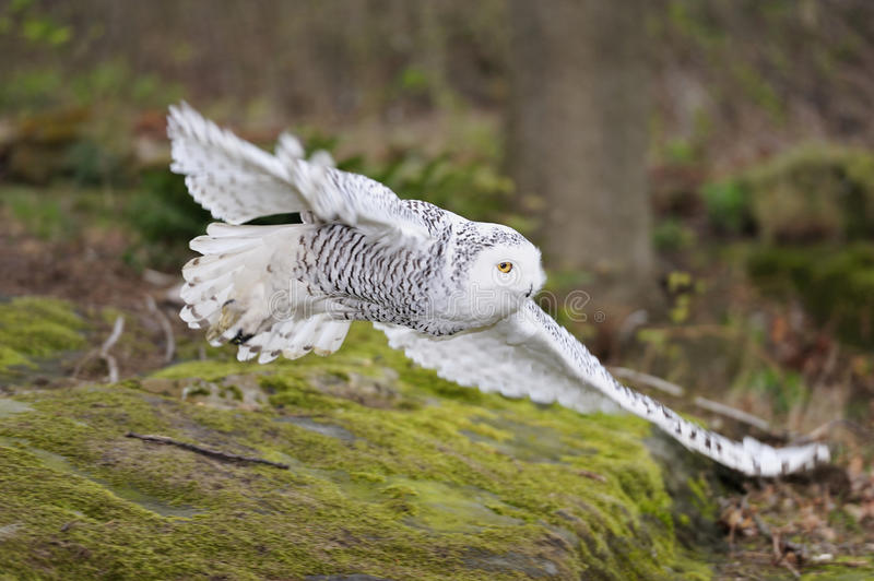 Snowy owl (Nyctea scandiaca) flying royalty free stock image