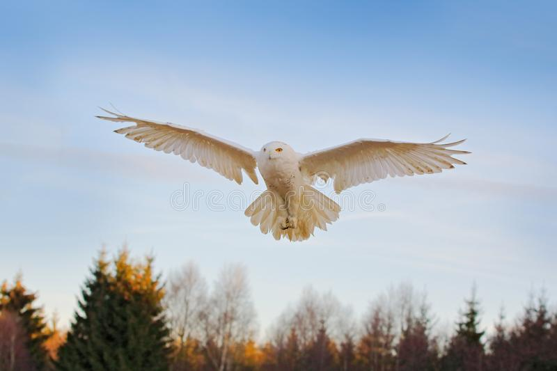 Snowy owl, Nyctea scandiaca, rare bird flying on the sky, forest meadow in the bacjground. winter action scene with open wings,. Greenland. Wildlife scene from stock photo