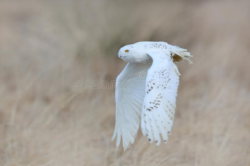 Snowy owl, Nyctea scandiaca, rare bird flying on the sky, forest meadow in the bacjground. winter action scene with open wings,. Greenland. Wildlife scene from royalty free stock photography