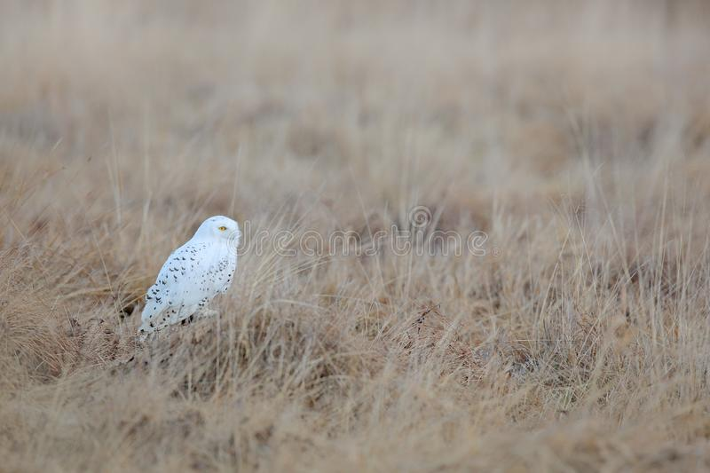 Snowy owl, Nyctea scandiaca, rare bird flying on the sky, forest meadow in the bacjground. winter action scene with open wings,. Greenland. Wildlife scene from stock image