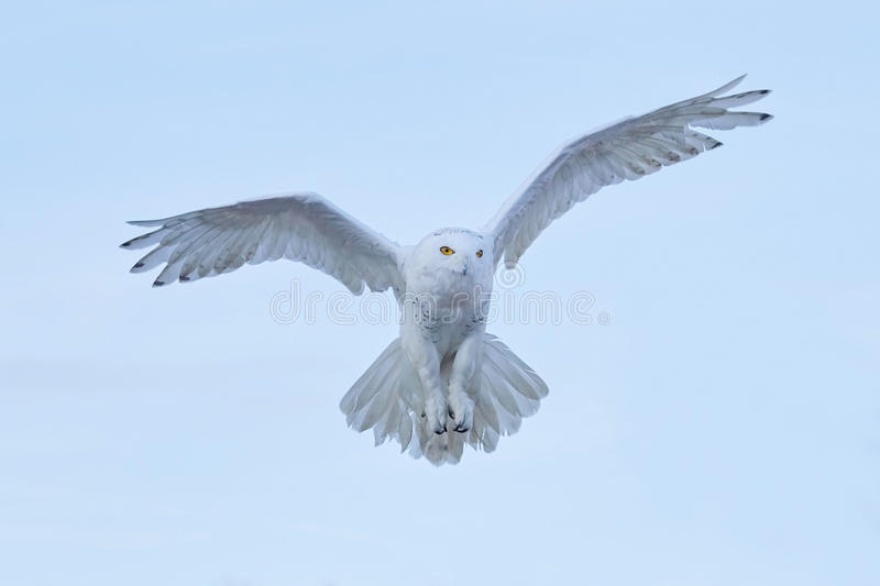 Snowy owl, Nyctea scandiaca, rare bird flying on the sky, winter action scene with open wings, Greenland royalty free stock photos