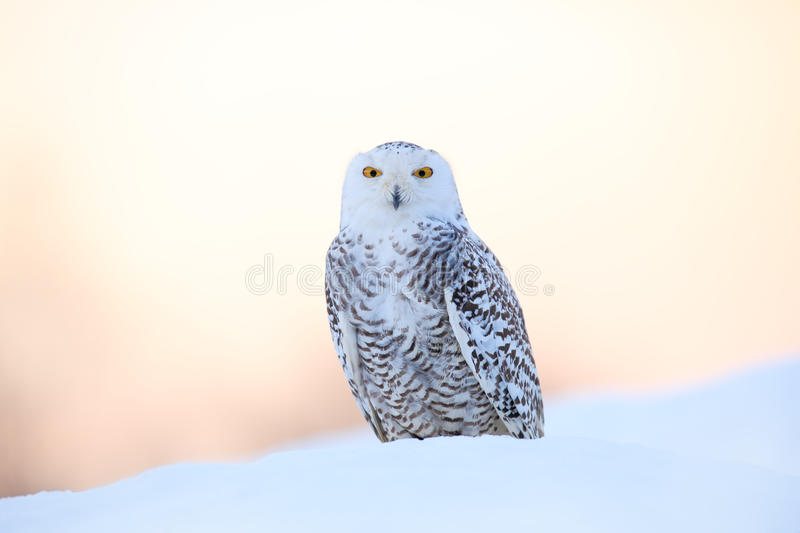 Snowy owl, Nyctea scandiaca, rare bird sitting on the snow, winter scene with snowflakes in wind, early morning scene, before. Sunrise, Canada stock image