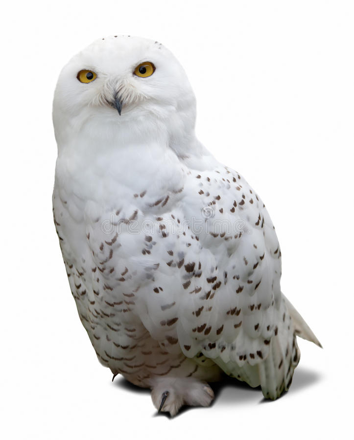 Download Snowy Owl  over white stock photo. Image of scandiaca - 34536314
