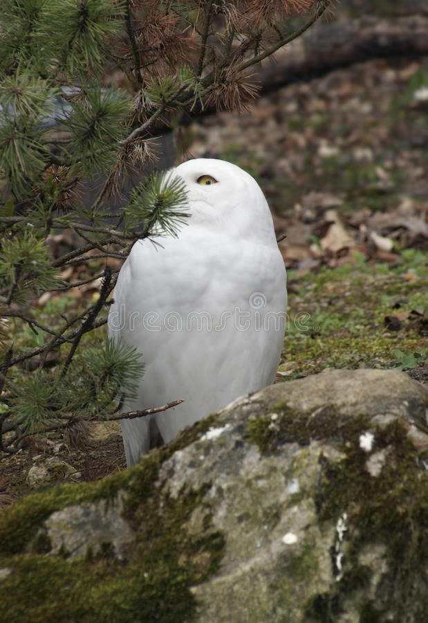 Download Snowy Owl partly hidden stock image. Image of scandiacus - 21206675