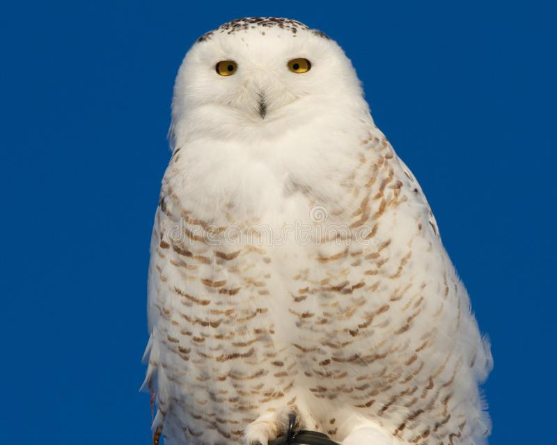 Snowy Owl Perched royalty free stock images
