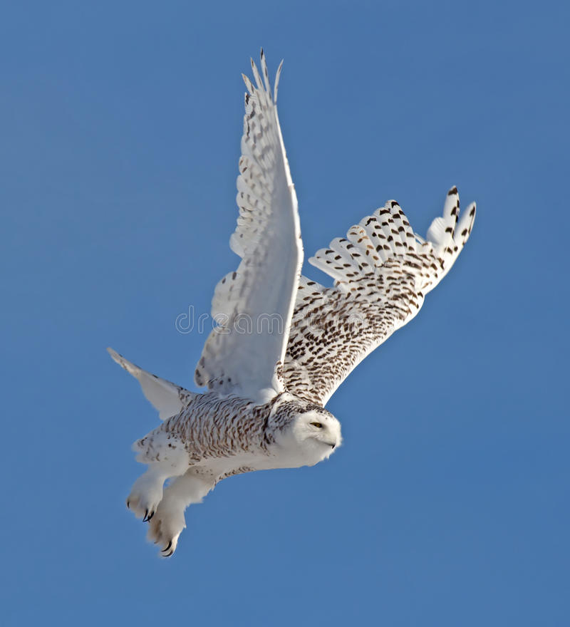 Download Snowy Owl stock image. Image of wing, black, wild, feathers - 30340243