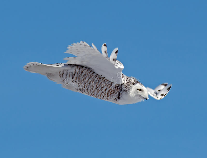 Download Snowy Owl stock photo. Image of birds, feathers, scalloping - 30340250